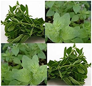 OREGANO - ITALIAN and Mediterranean HERB SEEDS - PERENNIAL CULINARY SPICE - Only 90 Days (001500 Seeds - Pkt)