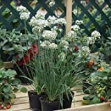 Just Seed - Herb - Allium sibiricum - Chives - Gigantic - 25 Seeds