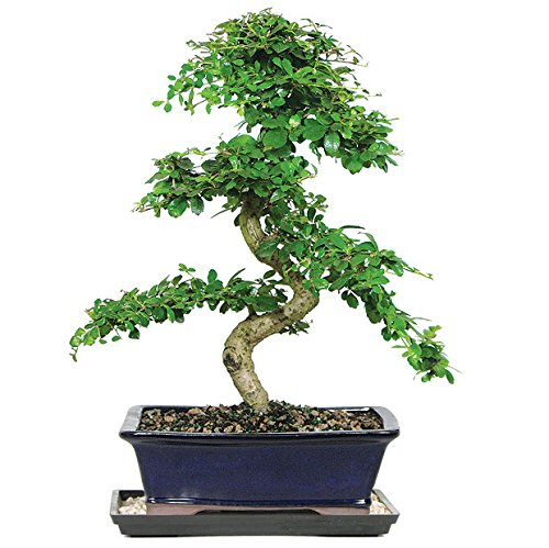 Dallas Bonsai Gardenu0027s Fukien Tea Bonsai (Indoor) ZFT2