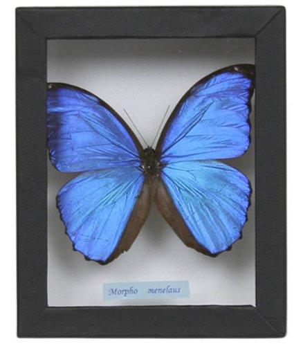 蝶の標本 メネラウスモルフォ