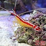 (海水魚 エビ)スカンクシュリンプ Mサイズ(2匹) 本州・四国限定[生体]