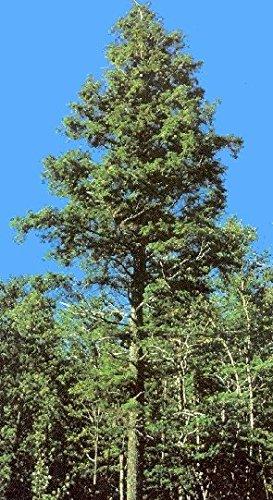 50 Eastern Hemlock Tree Seeds, Tsuga Canadensis, N.