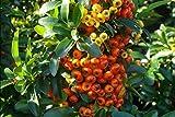 Pyracantha 'Orange Glow' - 1 Ltr Quality Plants