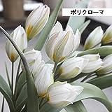 ガーデニング 球根:原種チューリップの球根*10個セット クルシアナシンシア ポリクローマ 品種選べます。 (ポリクローマ)