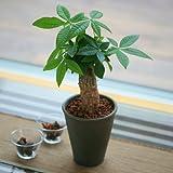 発財樹 パキラ 4号陶器 鉢植え 観葉植物 インテリア グリーン