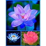 Bonsai Lotus Seeds 3 In 1 Combo Pack : Evening Purple,Sacred Blue, Indian Pink Lotus Flower Seeds,Free Shipping