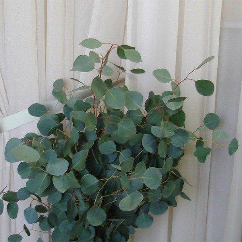 30+ Seeds, Eucalyptus