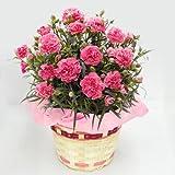 母の日 ギフト カーネーション 鉢植え 5号鉢(ピンク)