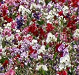 KNEE HIGH SWEET PEA - LATHYRUS ORORATUS - 10 SEEDS