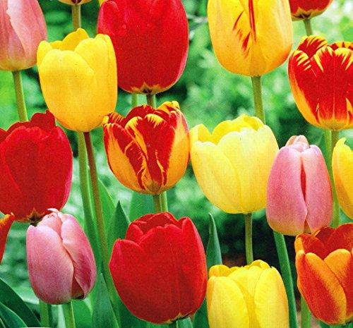 tequila-sunrise-tulip-25-bulbs-colorful-mix-12-cm-bulbs