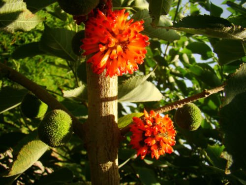Paper Mulberry Tree Broussonetia Papyrifera Architectural Plant With Colourful And Edible Fruits