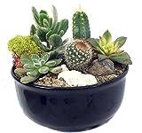 New Mexico Steer Head Cactus & Succulent Garden - Black Glazed Pot - Easy to grow!