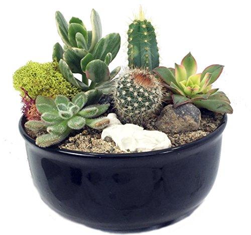 new-mexico-steer-head-cactus-succulent-garden-black-glazed-pot-easy-to-grow