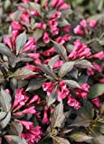 Spilled Wine® Weigela - Red Leaves, Magenta Flowers - Proven Winners
