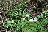 ヤマシャクヤク (山芍薬) 種まき5年 10.5~13.5cmポット 花芽なし