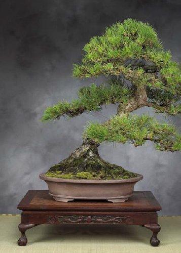 tropica-bonsai-pino-nero-giapponese-pinus-thunbergii-30-semi