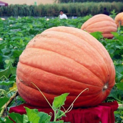 giant-pumpkin-organic-garden-sweet-greens-vegetables-grow-huge-5-seeds
