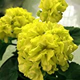 Geranium Purely Greenish Yellow Big Blooms Bonsai Flowers Seeds 10pcs Rare Garden Ornamental Fragrant Flowers