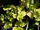 LYSIMACHIA NUMMULARIA AUREA GOLDEN LEAVED HARDY CREEPING JENNY IN 7CM POT