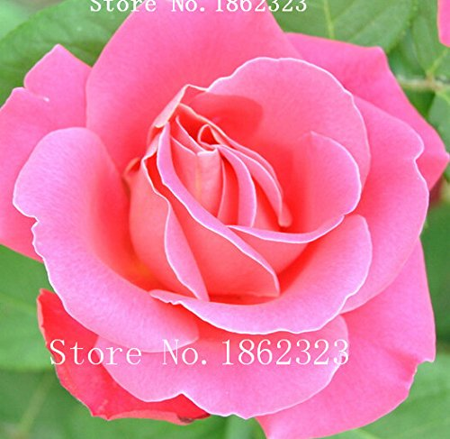 hot-plants-de-graines-couleur-orange-rainbow-rose-graines-de-charme-fleur-chinoise-bonsai-pour-garde
