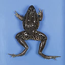Preserved Frog, X-Jumbo Size, 4-5 inches long, Bulk Bag