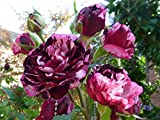 "Beetrose ""Magdas Rose ®"" -"