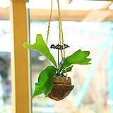 観葉植物:コウモリラン(ビカクシダ)*2号×ヤシの実ハンギング