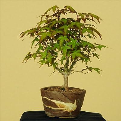 小品盆栽:山もみじ(瀬戸焼小鉢)