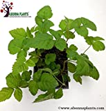 """Blackberry Plants 8""""-12""""- Imported from USA/ 2 plants Pack (Triple Crown, Chester Varieties suitable for Indian Climate). Can be Grown in Container/Lawn/Patio/Garden/Pot. Ships Right Away!"""