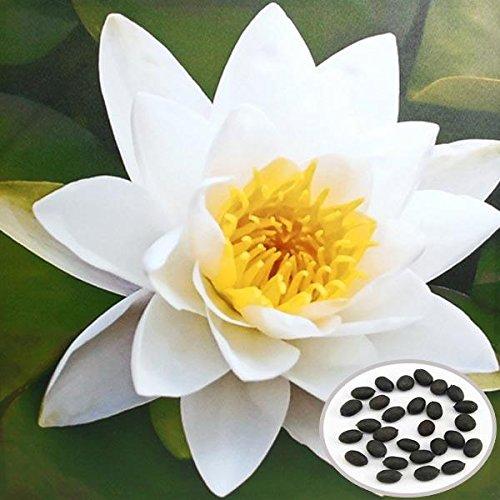 mamaison007-10pcs-blanco-bol-loto-semillas-jardin-plantas-acuaticas
