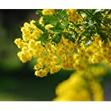 30 Sweet Acacia Golden Mimosa Acacia farnesiana Legume Seeds ~Chris's garden