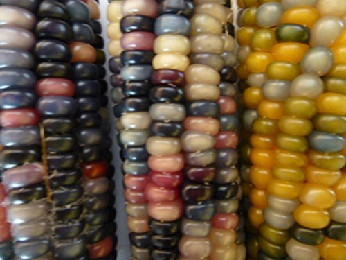 jumbo-pack-heirloom-glass-gems-decorative-indian-corn-forty-pack