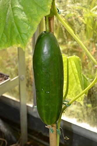 premier-seeds-direct-vm-19rt-cmz8-cucumber-la-diva-f1-finest-seeds-pack-of-30