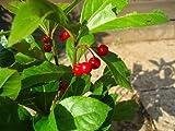 ツルコウジ(十両)ポット苗 可愛い赤い実がなります【常緑低木】【つる性植物】
