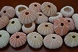 25 Pcs Bulk Pink Sea Urchins Sea Shell Beach Wedding Nautical