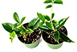 "9GreenBox - Sweet Olive Tree Osmanthus - 2 Pack of 4"" Pot"