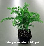 Norfolk Island Pine -Indoor Christmas Tree - 3 Pot