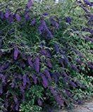 Black Knight Butterfly Bush (well branched 1-2ft in full gallon pots) Deep purple blooms in the summer!