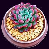 Succulent Live Plant