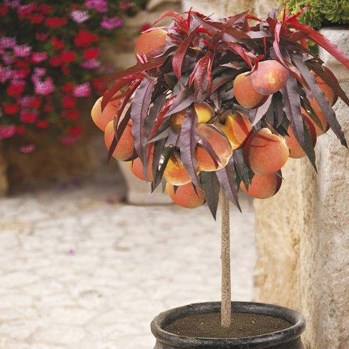 Peach Crimson Bonfire Bare Root Tree