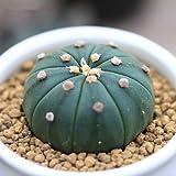 Live Succulent Plant Mini Succulents (Astrophytum)