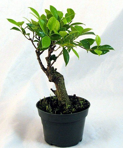 Ginseng Fig Bonsai Starter Plant - Great Indoor Bonsai