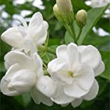 (Jasmine Za#005) 20pcs/lot Package Jasmine Seeds, Fantanstic Planting Flower Seeds