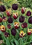 Black Blend Tulips - 24 bulbs