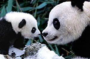 Panda Bears Mother and Cub Art Poster Print