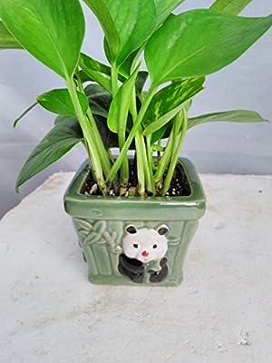 Jmbamboo - Golden Devil's Ivy - Pothos - Epipremnum -With Panda Vase 4'' Pot - Very Easy to Grow