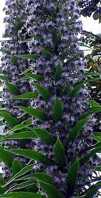 Giant Viper Plant 25 Seeds-Echium pininana-HUGE