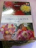 De Ree 3 Dahlia Cactus mixed Summer Bulbs -Lifestyle Collection