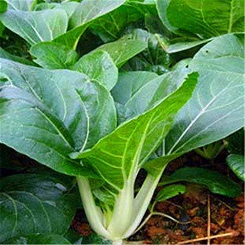 nueva-pak-choi-bok-choy-col-de-china-seeds-semillas-de-vegetales-organicos-saludables-para-el-jardin