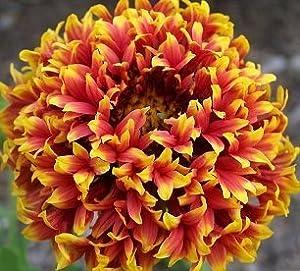 """(PGAL)~GAILLARDIA """"SUNDANCE BICOLOR""""~Seeds!~~~Stunning Double!"""